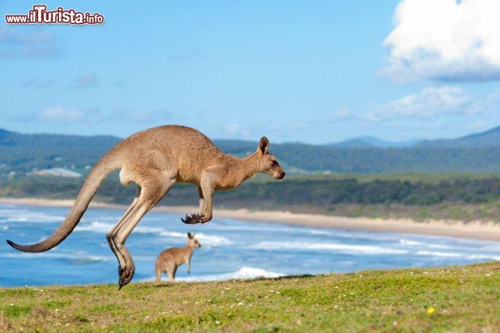 Canguri Su Spiaggia Emerald Beach Nel Nuovo Galles