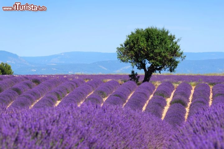 La fioritura della lavanda sul plateau de valensole foto valensole - Le plateau des couleures valence ...