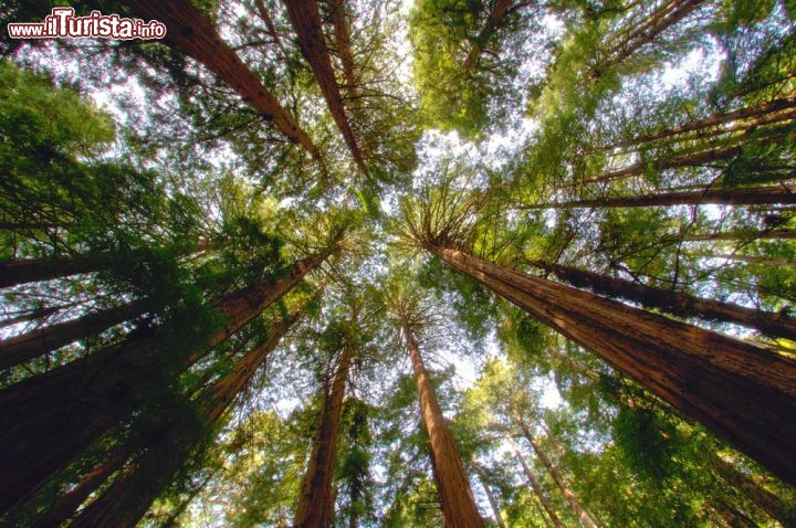 Immagine Muir Woods National Monument, la foresta, ricca di sequoie redwood, si trova alla periferia di San Francisco in California - © photogolfer / Shutterstock.com