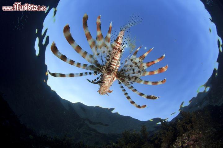 Pesce leone nel mar rosso un classico incontro foto for Un pesce allevato in acque stagnanti