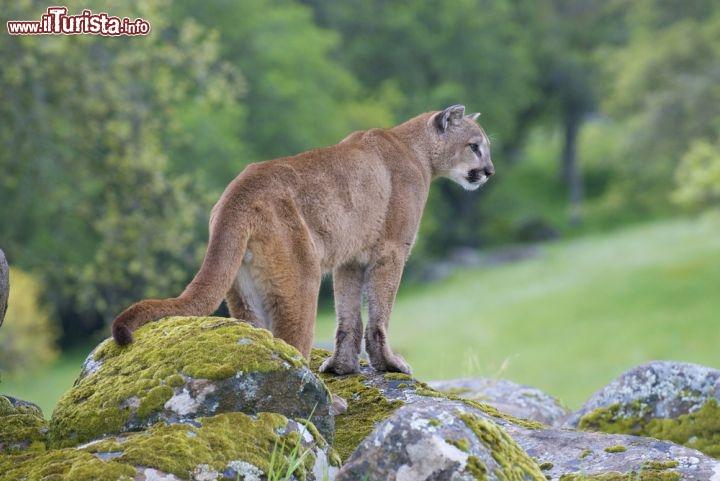 Un puma leone di montagna fotografato nel parco for Cabine di alloggio del parco nazionale di yosemite