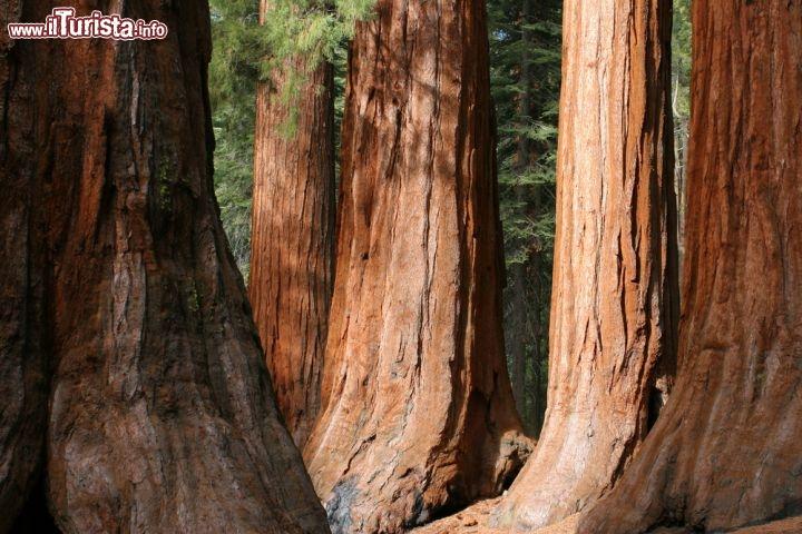 Le sequoie di mariposa all 39 interno del parco foto for Cabine di alloggio del parco nazionale di yosemite