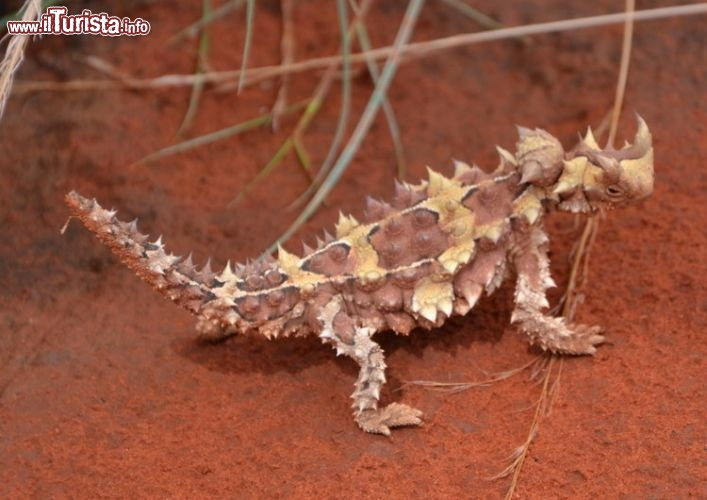 Immagine Thorny Devil -  Il Diavolo Spinoso si può ammirare al Reptile Center di Alice Springs, Northern Territory, Australia