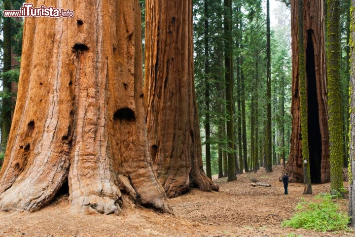 Una turista ai piedi dei grandi alberi del parco for Grandi capanne di tronchi