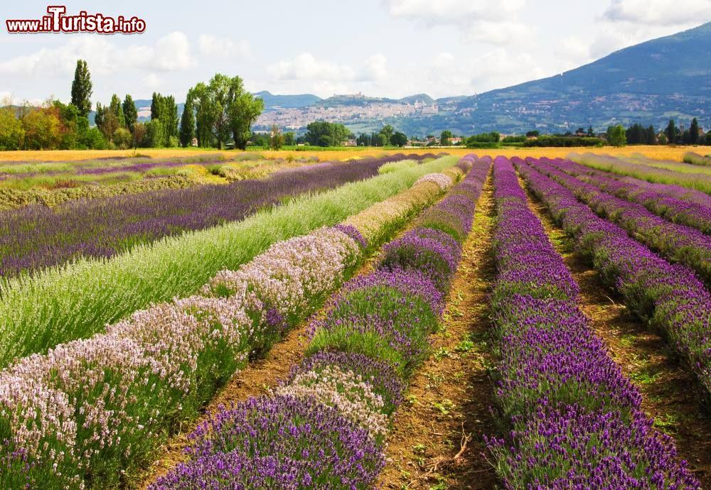 Immagine Assisi ed un lavandeto in primo piano: la fioritura della lavanda si può ammirare anche in Umbria