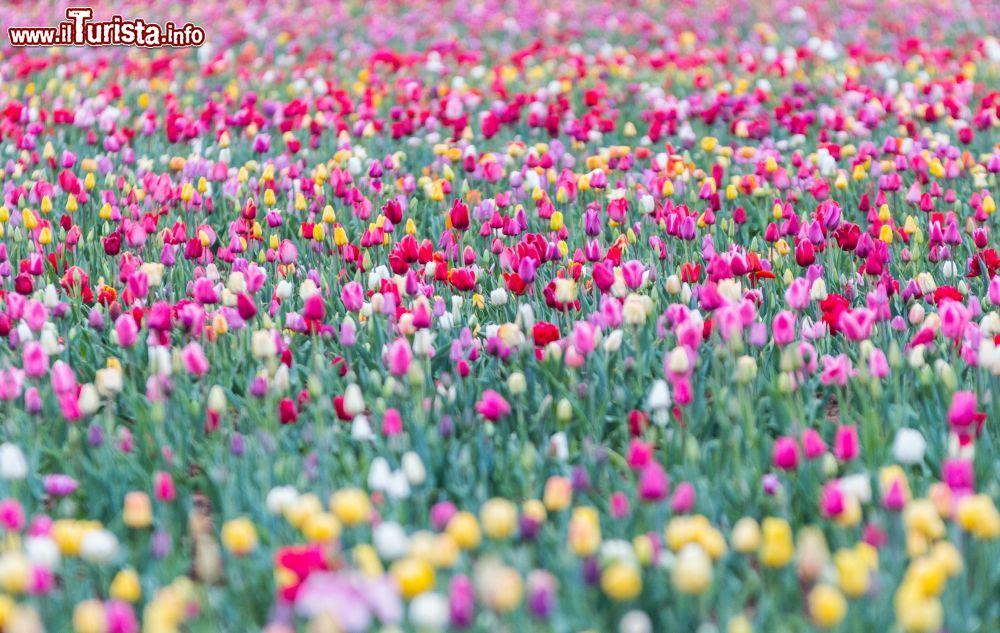 Tulipani italiani Cornaredo