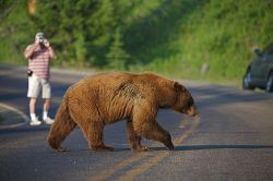 Orso bruno Grizzly attraversa la strada Yellowstone. ...