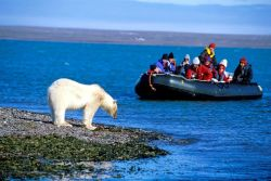 Orso polare sulle isole Svalbard a Spitsbergen, ...