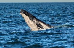 Whale watching Exmouth megattere Australia