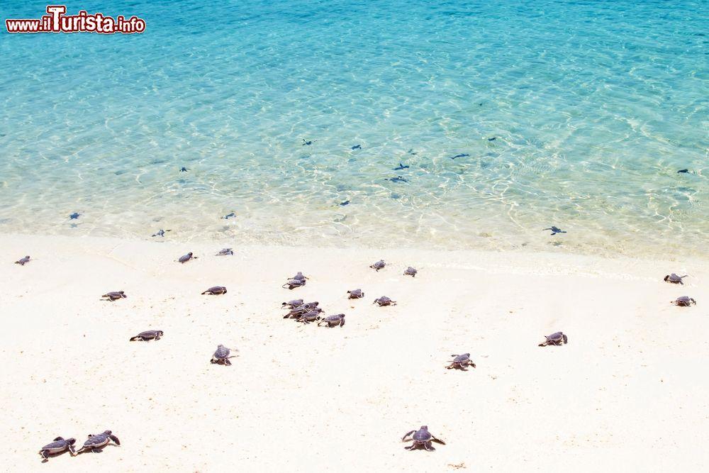 Tartarughe appena nate si tuffano nelle acque foto for Lago per tartarughe