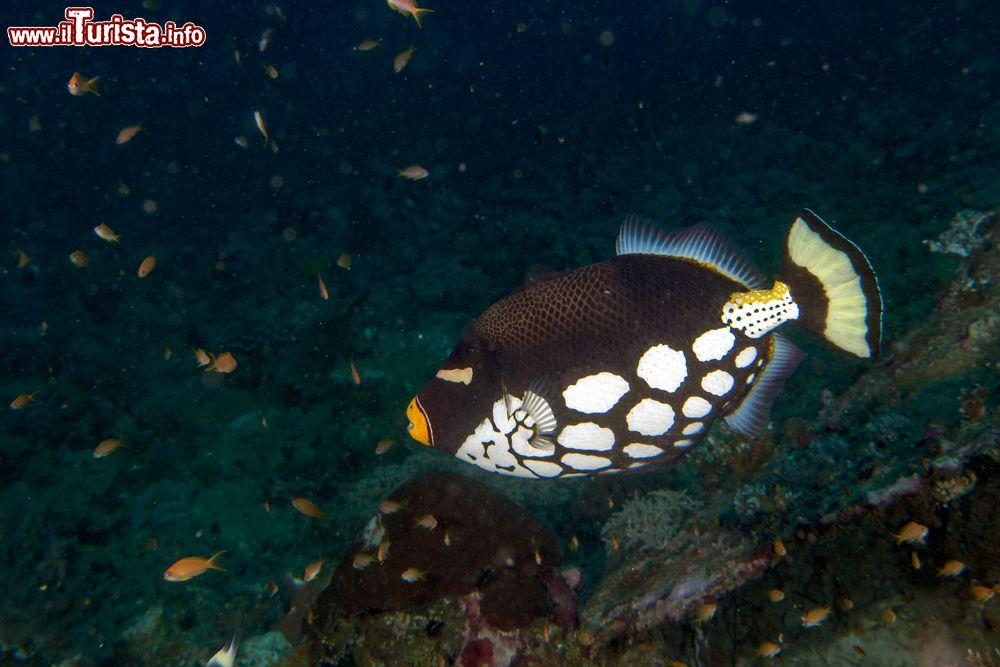 Un pesce balestra clown nelle acque dell 39 atollo foto for Un pesce allevato in acque stagnanti