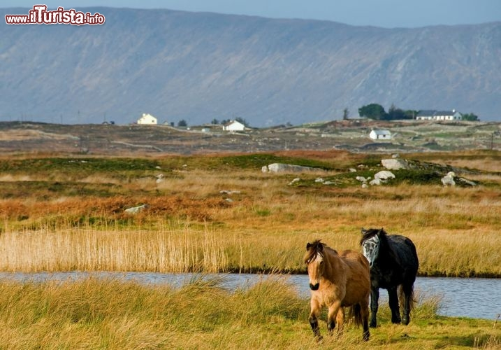 Immagine Pony in libertà nel Connemara, la regione dell'Irlanda occidentale - © Michael Steden / Shutterstock.com