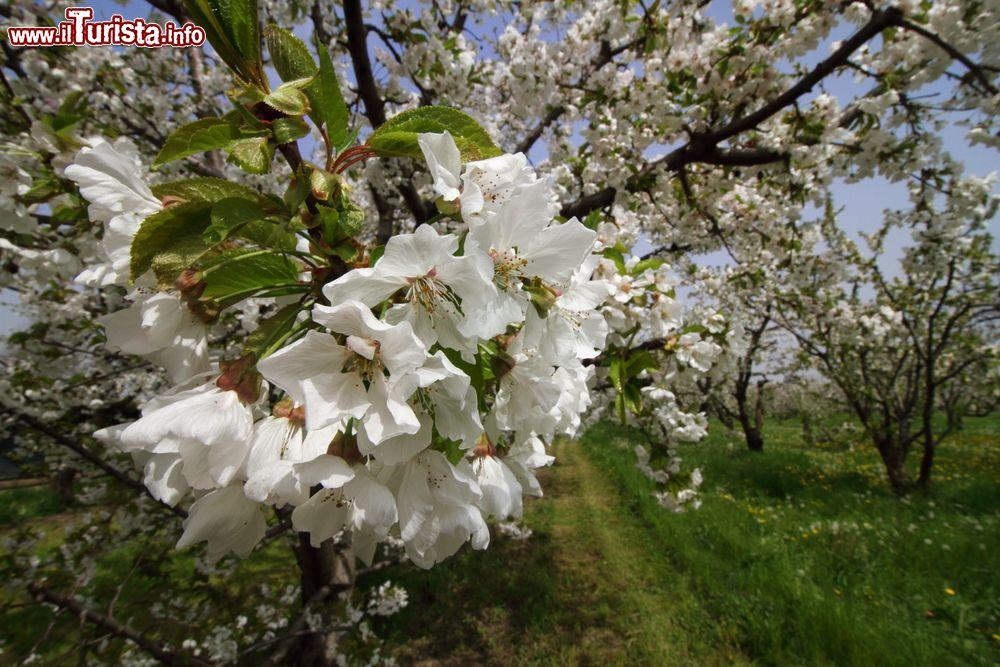 Festa dei Ciliegi in Fiore Vignola