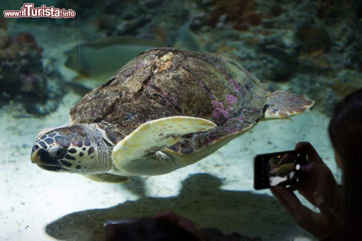 Una tartaruga di mare nell 39 acquario di genova foto for Tartaruga da acquario