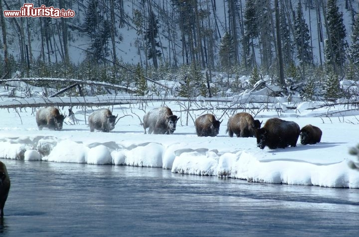 Inverno nel Wyoming, bisonti lungo il fiume. Credit: Egret Communications