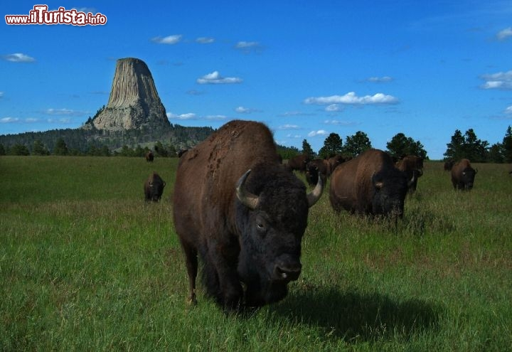 Devils Tower: la strana montagna del Wyoming con bisonti al pascolo. Credit: Rick Carpenter