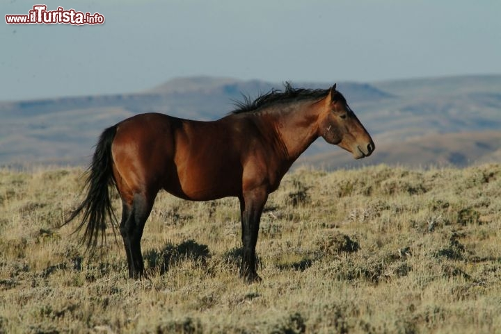 Cavallo selvaggio tra le colline del Wyoming. Credit: Egret COmmunications