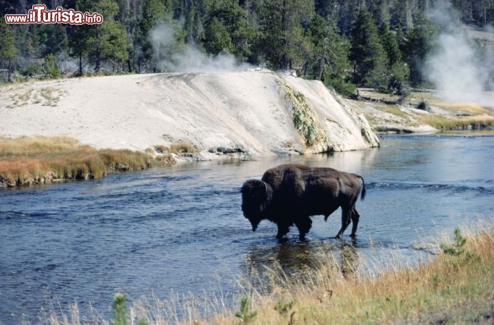 Un Bisonte nel Yellowstone National Park, in Wyoming. Credit: Egret Communications
