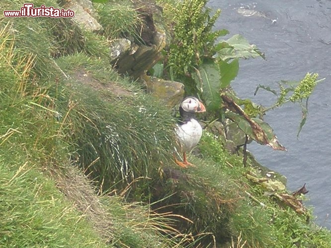 Is. Shetland - Puffin