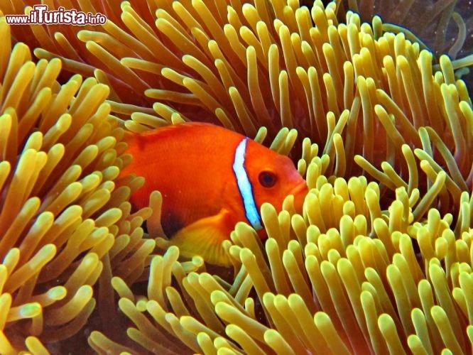 Un pesce pagliaccio alle maldive si nasconde in un for Pesce pagliaccio foto