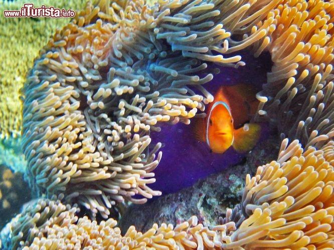 Un pesce pagliaccio si rifugia tra i tentacoli guarda for Immagini pesce pagliaccio