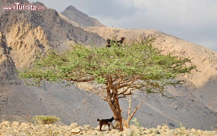 Una capretta sopra all'acacia in Oman