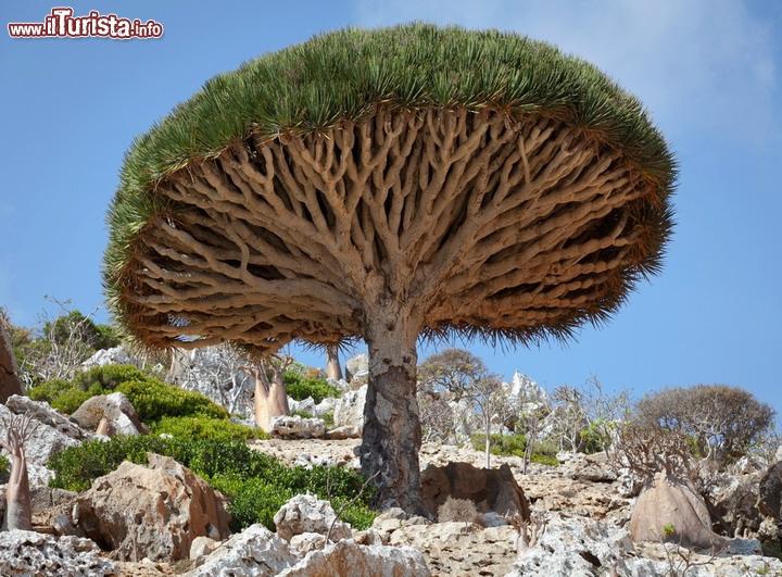 Albero di drago a socotra yemen non pontendo pi for Foto meravigliose del mondo