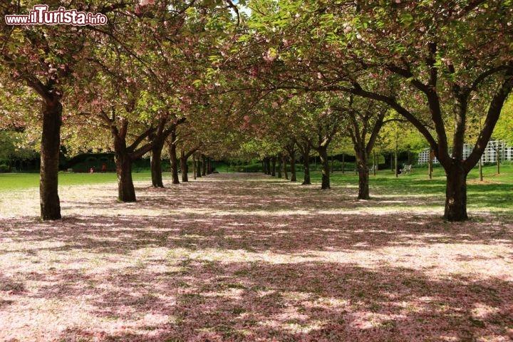 Brooklyn botanic garden viale dei ciliegi in foto new york city brooklyn botanic garden for Puglia garden city ny