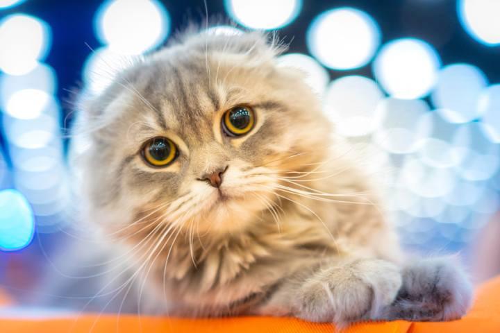 Esposizione Internazionale Felina I gatti più belli del mondo Agrate Brianza