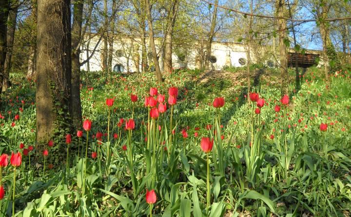 Tulipani a corte Govone