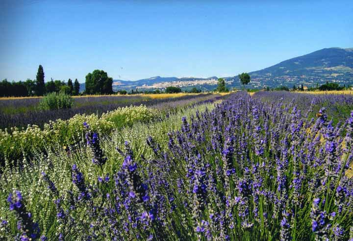 La festa della lavanda Castelnuovo di Assisi