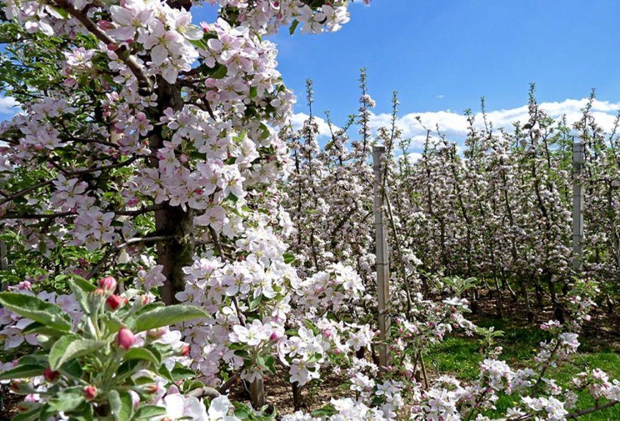 Fiorinda, la festa dei meli in fiore della Val di Non Mollaro