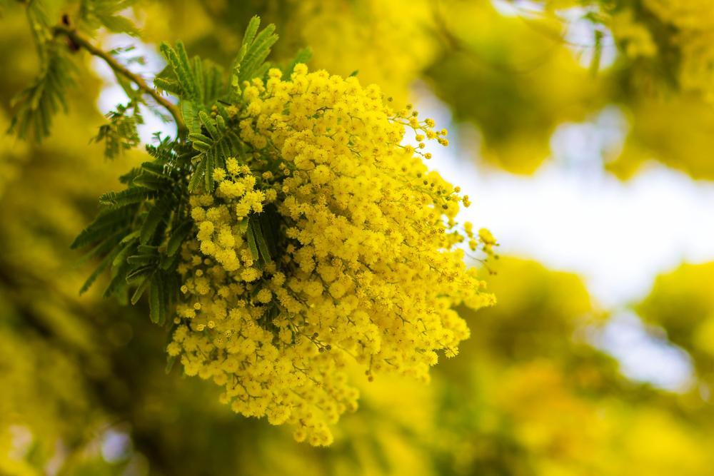 Sagra della mimosa Pieve ligure
